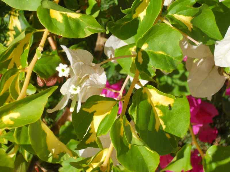 Bougainvillea glabra 'Variegata' 1