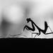 Praying Mantis - Lawn mower