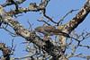 African Cuckoo-Hawk, Luita, DRC by Terathopius