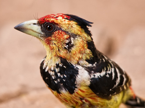 Crested Barbet | by Marc_Scott-Parkin
