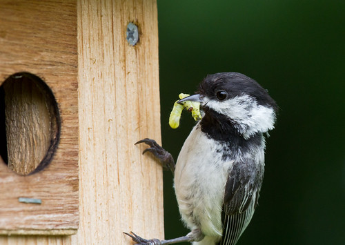 Adult chickadee bringing food to nestlings in a nest box.