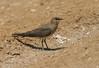 Black-winged Pratincole - Glareola nordmanni, Eilat, IL, 2007_05_05_009.jpg by maholyoak