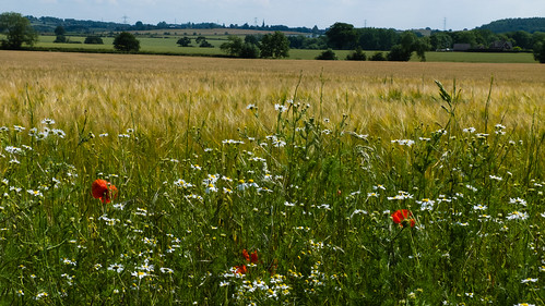 Wildflowers by a field of ripening barley