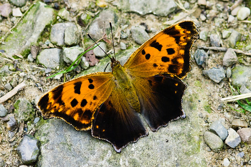 Question Mark Butterfly, Polygonia Interrogationis