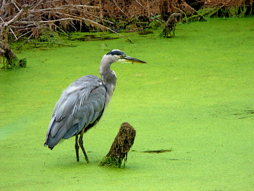 green washington pond stump greatblueheron ridgefield odc1 telelphoto ridgefieldnationalwildliferefuge cmwdgreen