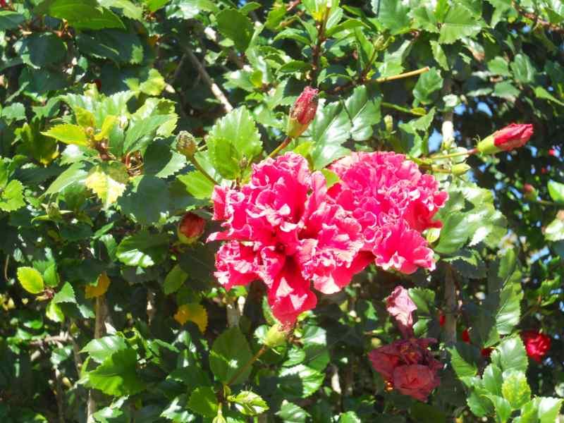 Hibiscus rosa sinensis 'Toledo' 1