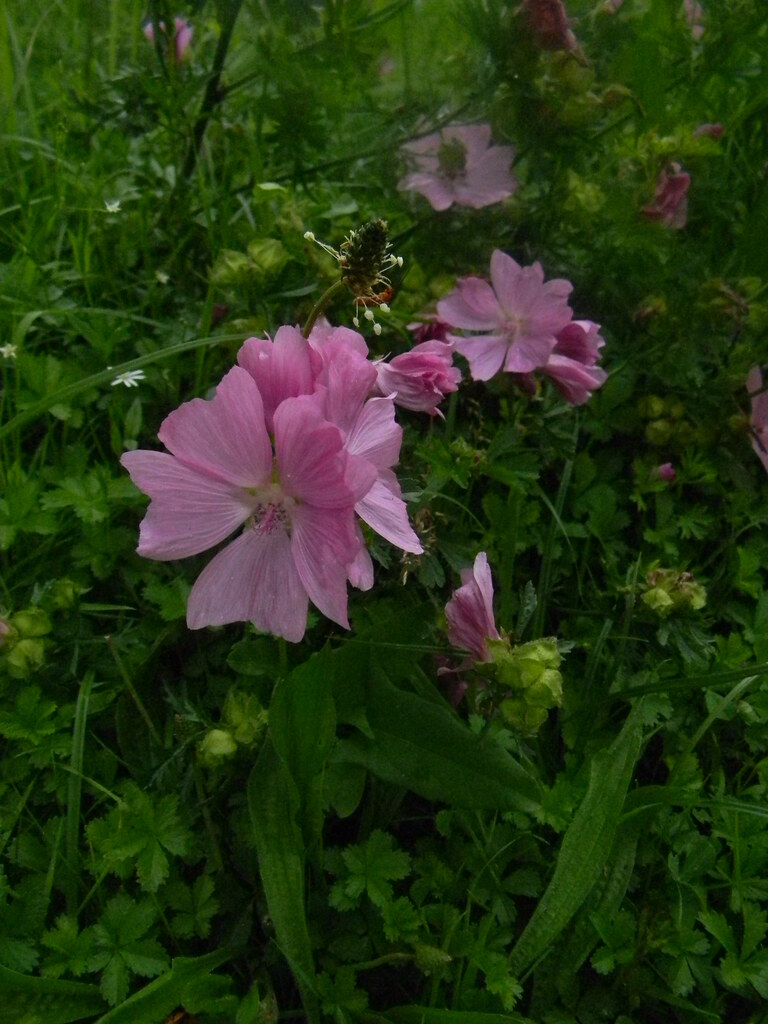 Musk Mallow Bit of a mystery this one but the feathery leaves suggest musk rather than common mallow. Pulborough Circular