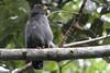 Slender-billed Kite by rhysmarsh