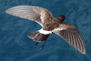 White-vented Storm-petrel 4 by rhysmarsh