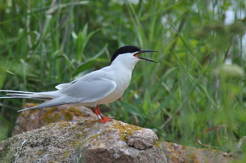 Roseate Tern | by U. S. Fish and Wildlife Service - Northeast Region