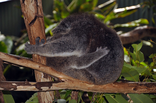Koala Hug | 20 July 2011 #622 | Annette Cormack | Flickr - photo#30