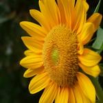 sunflower - ひまわり