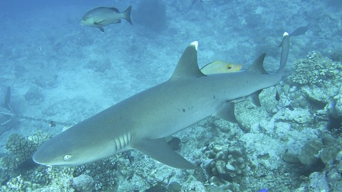 Beqa Whitetip Reef Shark | by sharkdefenders