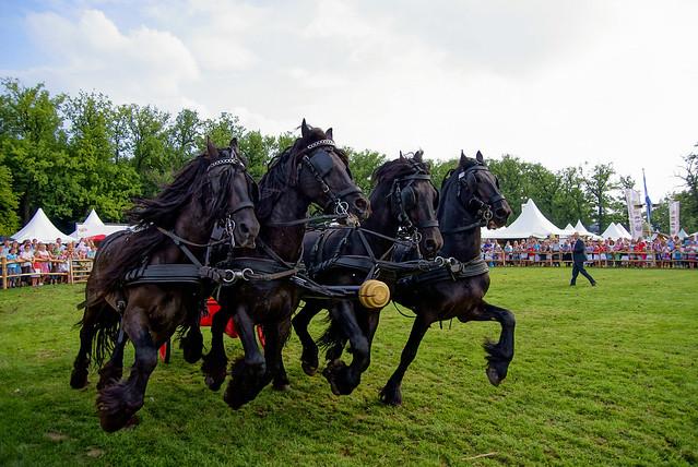 Frisian horses pulling Roman Chariot