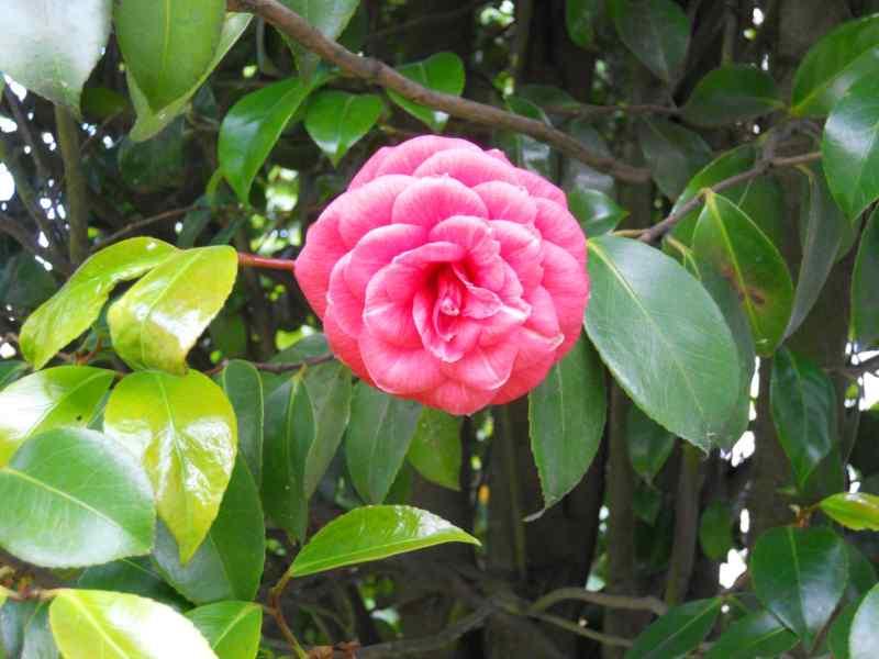 Camellia japonica 'Elegans' 1