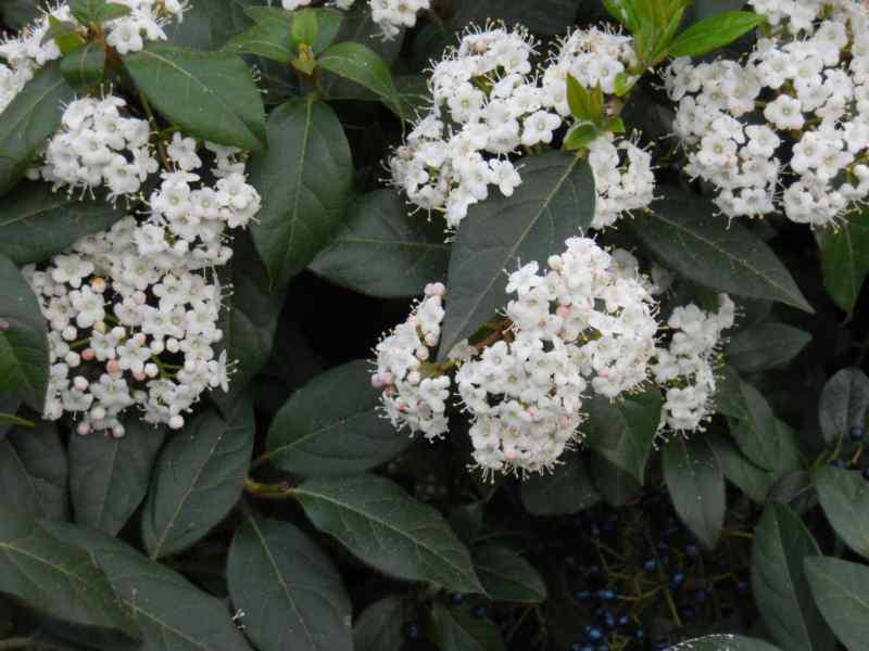 Viburnum tinus 7