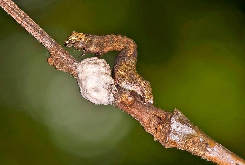 Parasitized Zombie Caterpillar Guarding Wasp Pupae