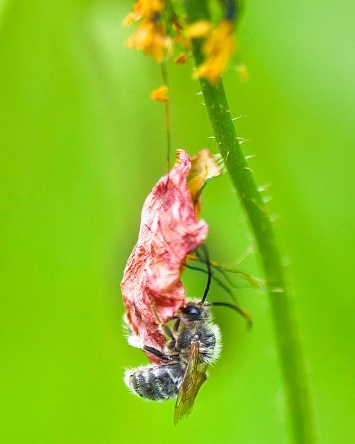 Longhorn Bee, Tetralonia nipponensis, On Poppy Petal