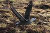 Waved Albatross Takeoff by rhysmarsh
