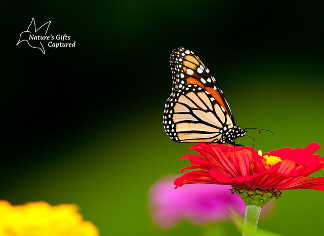 Monarch on Red