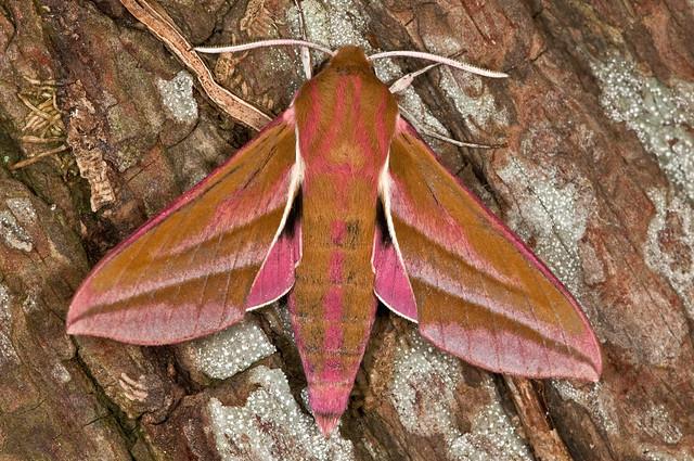Elephant Hawk- moth (Barry's) ON SPRINGWATCH 2016