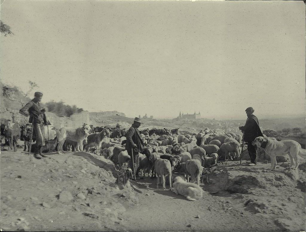 Rebaño de ovejas en Toledo a principios del siglo XX. Fotografía de D. Pedro Román Martínez. Diputación de Toledo, Centro de Estudios Juan de Mariana