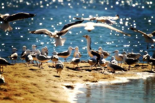 seagulls beach wet water birds fly flying sand gull australia landing queensland southport 100400mm goldcoast shorebirds piedcormorant phalacrocoraxvarius thespit birdflying canon7d