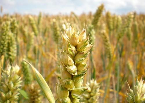 Яровая Пшеница Гранни Арабелла Saatbau