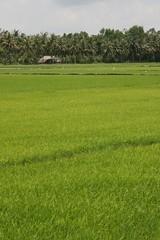 Vietnamese rice paddies