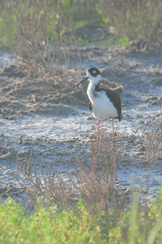 Black-necked Stilt (<I>Himantopus mexicanus</I>), Valley Land Fund Migratory Bird Sanctuary, South Padre Island, Texas | by VSmithUK