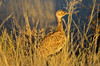 Red-crested Korhaan (Eupodotis ruficrista) by Ian N. White