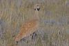 Karoo Korhaan (Eupodotis vigorsii) ♂ by Ian N. White