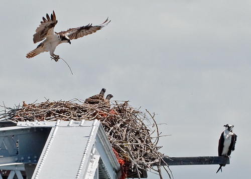 nest osprey ospreybabies