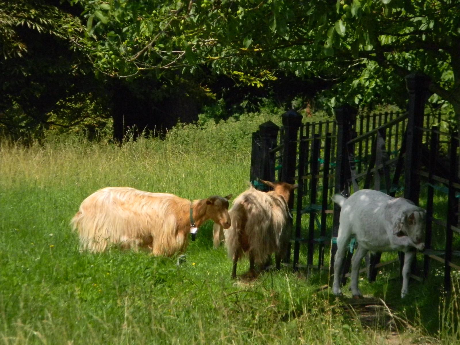 Goats Merstham to Tattenham Corner