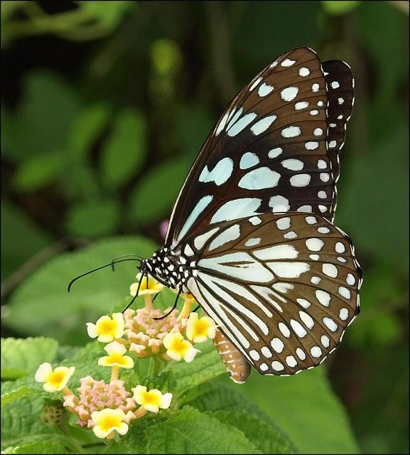 Blue Tiger Butterfly - Tirumala limniace