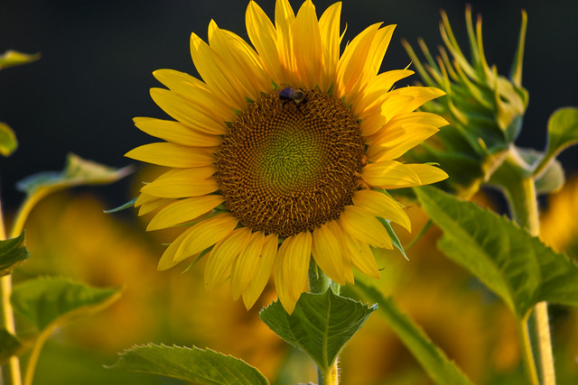Sunflower with Bee ~ Bee Happy:)