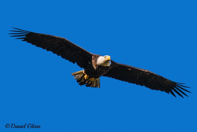 Bald Eagle (Haliaeetus leucocephalus) gliding at Conowingo Dam