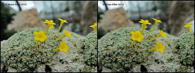 Small yellow alpine flower - 3d cross-view