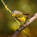 Grey-hooded warbler (Phylloscopus xanthoschistos) by stunningphotosofpk