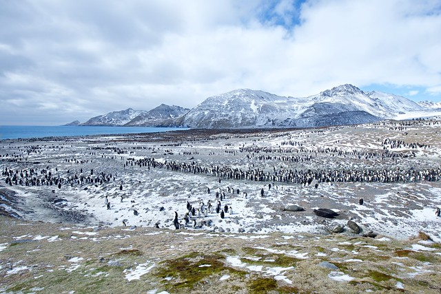 King Penguins and Seals on St. Andrews Bay in South Georgia