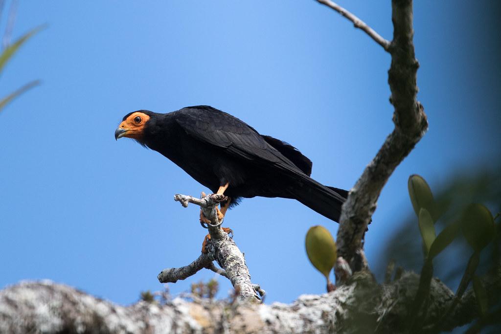 Black Caracara at Laguna Grande S24A4112