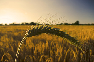 Macro: Barley 2   by Kwan.C