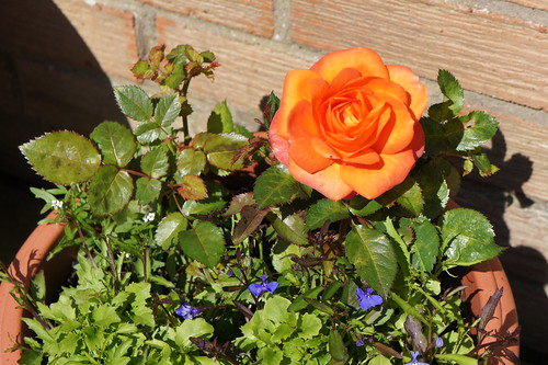 Rose in our patio in Berwick upon Tweed | by Karen V Bryan
