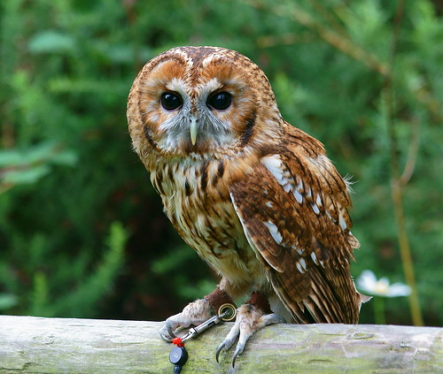 Tawny Owl   by Peter G Trimming