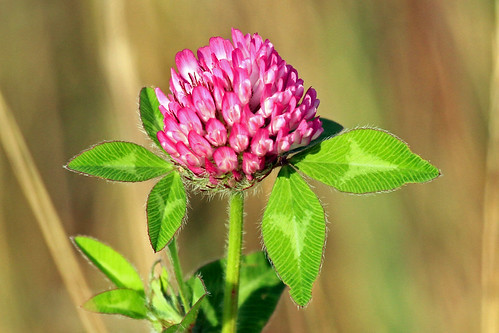 hairy flower nature leaves outdoors magenta wildflower redclover trifoliumpratense mygearandme