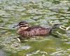 Masked Duck, Nomonyx dominicus by tripp.davenport