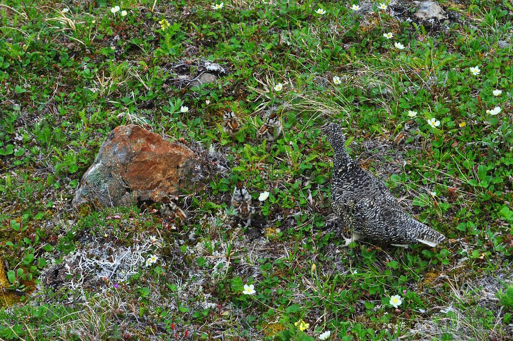 Ptarmigan and five chicks. Chugach State Park, Alaska