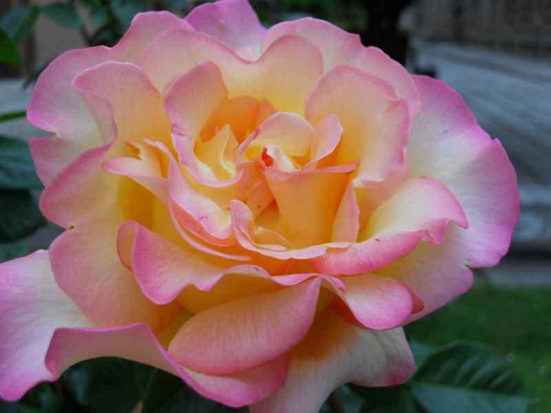 Rosa grandiflora 'Hippy' 2