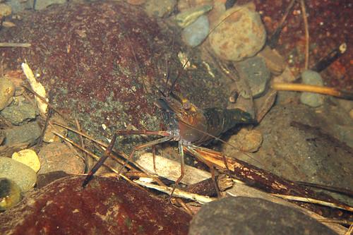 comores comoros mohéli mwali grandecomore océanindien nature environnement rivière écrevisse crevette eaudouce sousmarin macro simonfournier 5