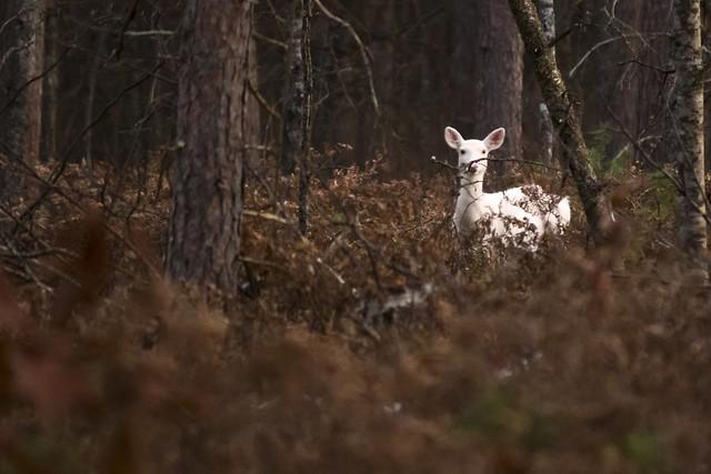 MAP6219 Albino Deer